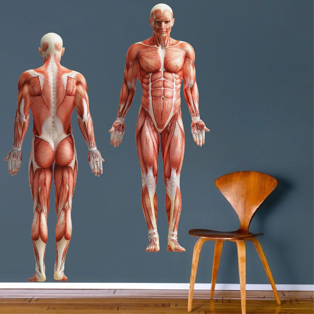 biggest muscles in the human body - 794×794