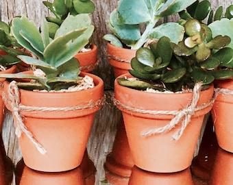100 succulent favours in 8cm terracotta pots for Steffie
