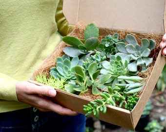 Succulent Gift Box, Succulent plants ready to be planted gift wrapped for plant lovers, DIY Succulent terrarium, Exotic plants