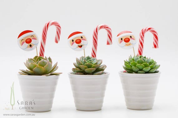 Christmas Succulent Gift Ideas.Succulent Christmas Gift In White Pot Corporate Thank You Gift Unique Christmas Gifts Xmas Gift Office Party Favour Minimum Order 20