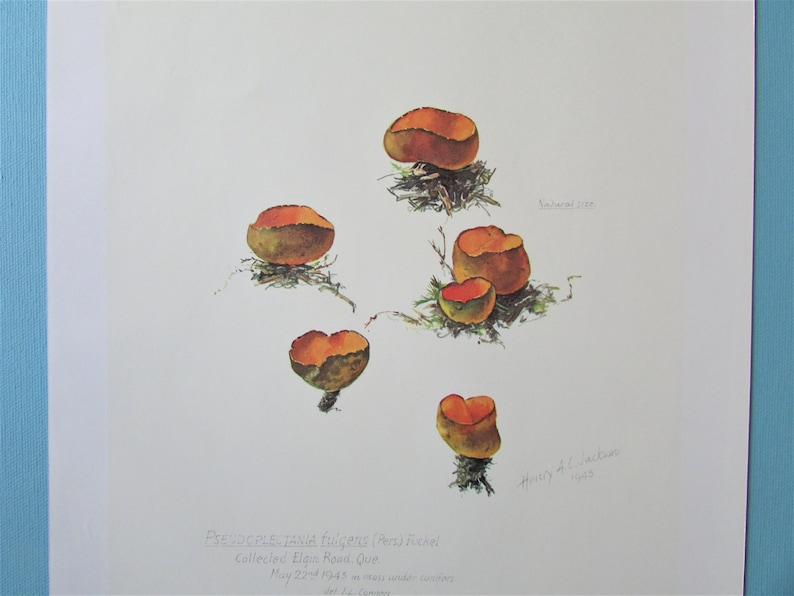 Cup Fungus Mushroom Botanical Art Print Color Plate Mycology Book Plate 20 Watercolour Wall Art for framing 9 12 X 13