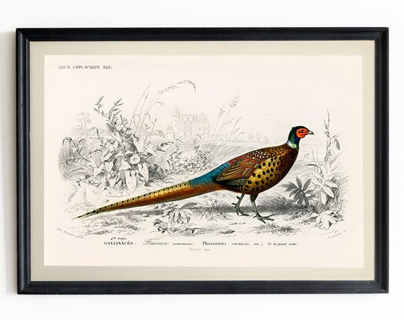 Pheasant Wall Art Vintage Pheasant Illustration Pheasant Decor Pheasant Print