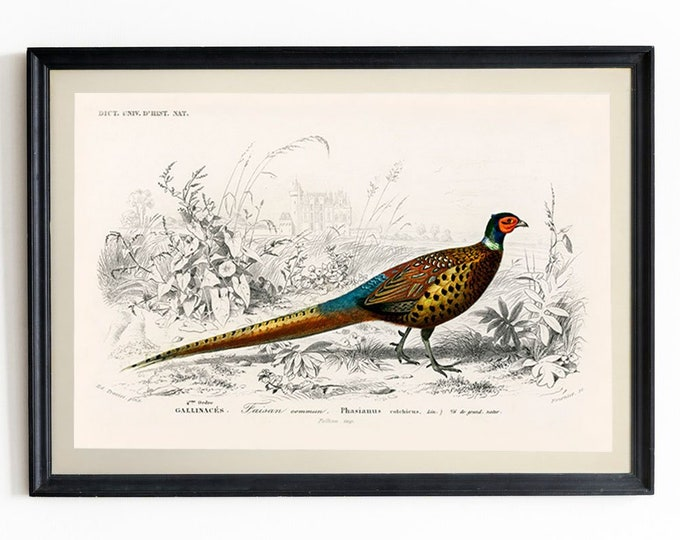 Pheasant Wall Art Vintage Pheasant Illustration Pheasant Decor Pheasant Print