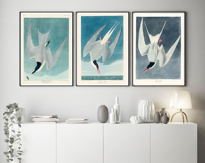 Audubon Birds Illustrations John James Audubon Set of 3 Audubon Paintings Marsh Tern Arctic Tern Great Tern Print American Birds WBAUD1-2-9