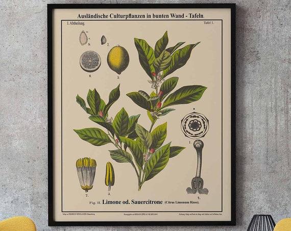 Lemon Botanical Print Lemon Decor Fruit Botanical Art