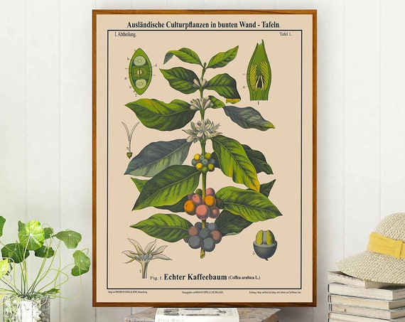 Coffee Botanical Poster Coffea Arabica Coffee Poster Cafe Decor Cafe Wall Art