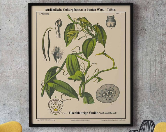 Vanilla Botanical Print Kitchen Botanical Art Oversize Botanical Poster