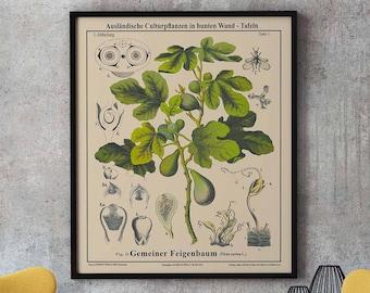 Fig Tree Botanical Drawing Rare Fig Tree Botanical Wall Art