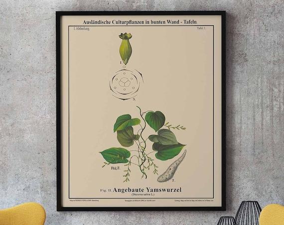 Yam Botanical Art Yam Plant Botanical Drawing Discorea Sativa