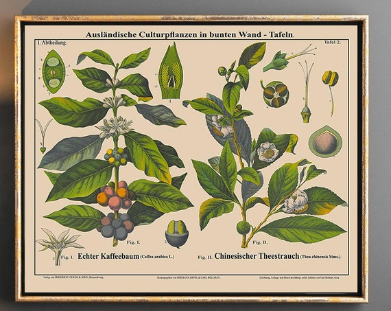 Tea and Coffee Plant Botanical Print Rare Coffee Decor Cafe Poster Cafe Art