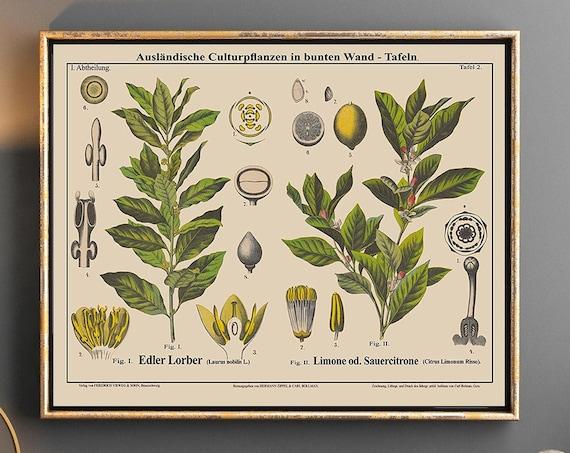 Bay Tree Botanical Lemon Tree Botanical Prints Landscape Botanical Art