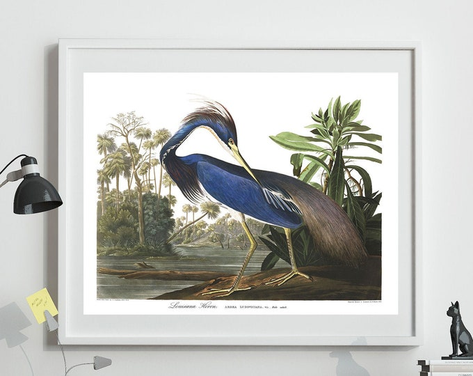 Louisiana Heron Print By John James Audubon Birds of America