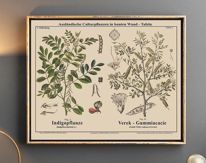 Botanical Art True Indigo and Gum Tree Very Rare Botanical Illustration