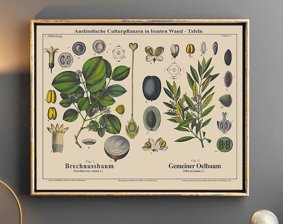 The Strychnine Tree Botanical Art and Olive Tree Botanical Plant Poster