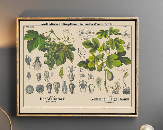 Grape Vine Botanical Print Grape Decor Fig Tree Botanical Art
