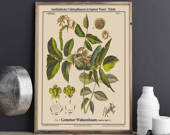 Walnut Tree Botanical Illustration Walnut Decor Walnut Wall Art