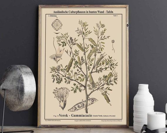 Gum Tree Botanical Poster Acacia Verek Botanical print