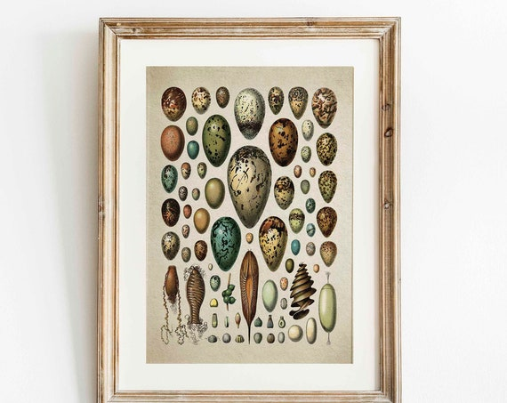 Vintage Egg Illustration Plate Egg Wall Art Egg Poster Vintage Natural History Print Egg Print Vintage Egg Botanical Egg Decor WBOT82