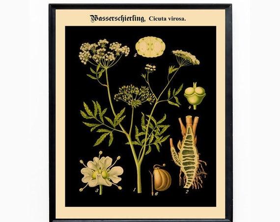Hemlock Botanical Art Botanical Decor from Auslandische Kulturpflanzen in farbigen Wandtafeln WBBOT-16