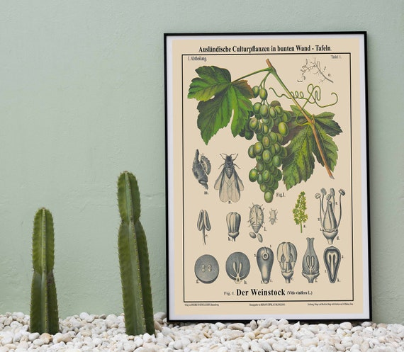 Grape Vine Prints Rare Grape Botanical Art
