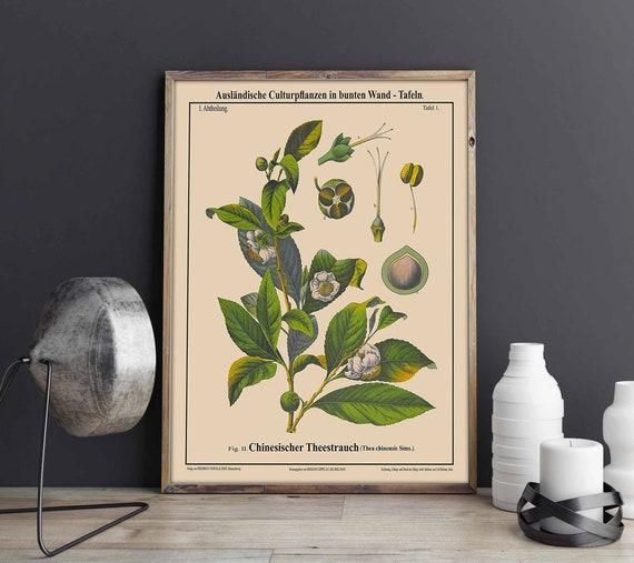 Tea Tree Botanical Print Tea Botanical wall Art Thea Chinensis Sims Chinese Tea Drinker Gift