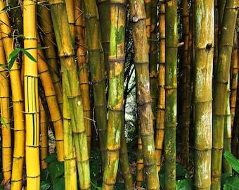 Bamboo Forest Photo, Kauai, Hawaii, Tropical, Garden