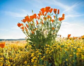 California Poppy, Poppy, Flower, Fields, Nature, Landscape, Poppies, Orange Flowers