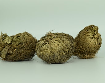 Plant of Resurrection, Rose of Jericho- Specialty Plants, Everlasting plant, Live Indoor Plant