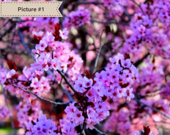 Cherry Blossom Photography | Flower Photography | Wrapped Canvas Photography | Home Decor | Nature Photography | Flower Canvas Photography