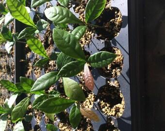 Miracle Fruit Plant Seedlings