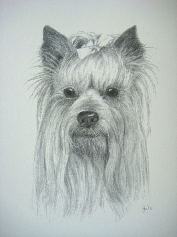 Yorkshire Terrier Yorkie Dog Art Print From Original Charcoal Drawing Limited Edition 85 X 11