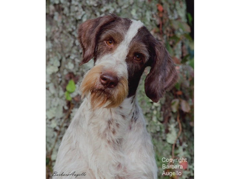 German Wirehaired Pointer German Wirehaired Pointer Flag image 0