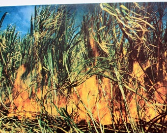 Burning Sugar Cane Before Harvest Hawaii Postcard / Farming Postcard / Fire Postcard