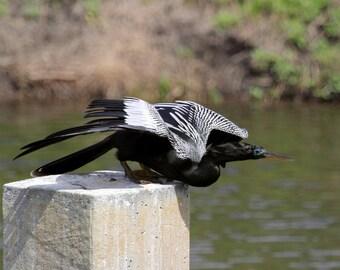 Male Anhinga Taking Flight - Florida Waterway