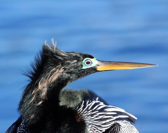 Closeup of Anhinga bird in Profile - Florida Waterway