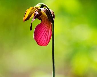 Lady slipper flower etsy orchid photo lady slipper flower print flower photography orchid print lady slipper flower flower picture picture of lady slipper mightylinksfo