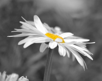 Daisy Photography Flower Color Splash Surreal Art Office Decor Accent Black And White Floral Print