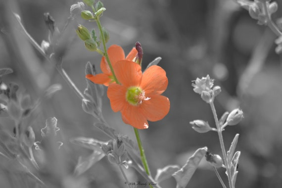 Single Orange Flower Black And White Color Accent Splash