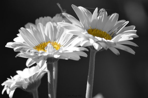 Daisies Photography Floral Print Black And White Color Accent Etsy