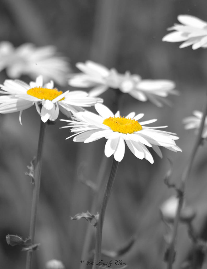 Flower photography black and white color splash daisy art home decor kitchen decor bedroom decor office decor bathroom decor daisies print
