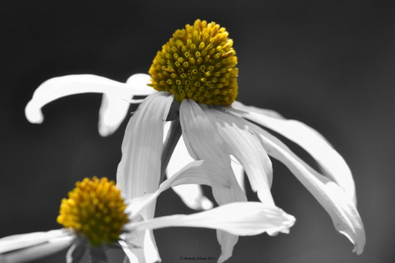 Flower Photography Coneflowers Home Decor Wall Decor Black And Etsy