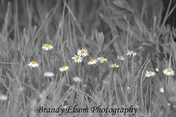 Daisy Print Black And White Color Splash Flower Photography
