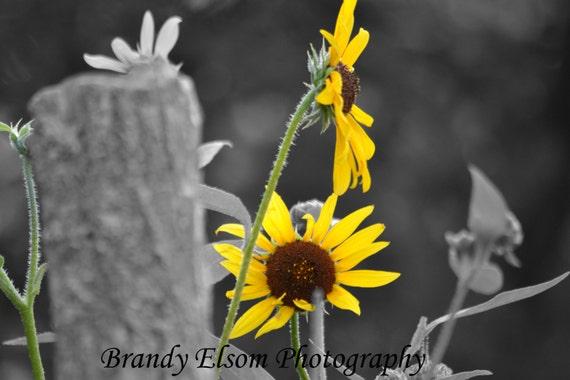 Negro Y Blanco Color Acento Girasoles Amarillo Pared Etsy