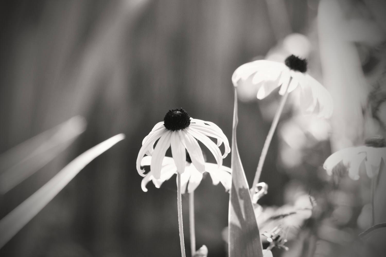 Schwarz und weiß Blume Fotografie Natur Fotografie Sonnenhut