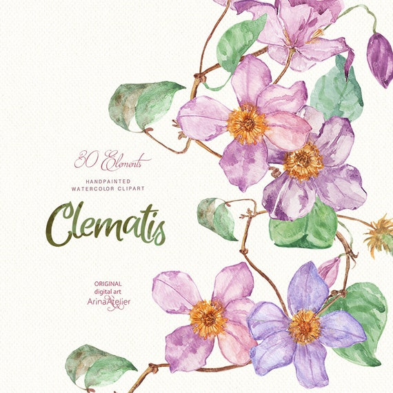 Clematis flowers watercolor clipart spring flowers digital etsy image 0 mightylinksfo