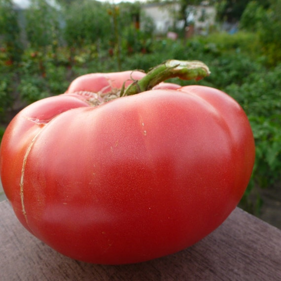 Später Ertrag Gemüse//Früchte Tomate St.Pierre 30 Samen Französisch