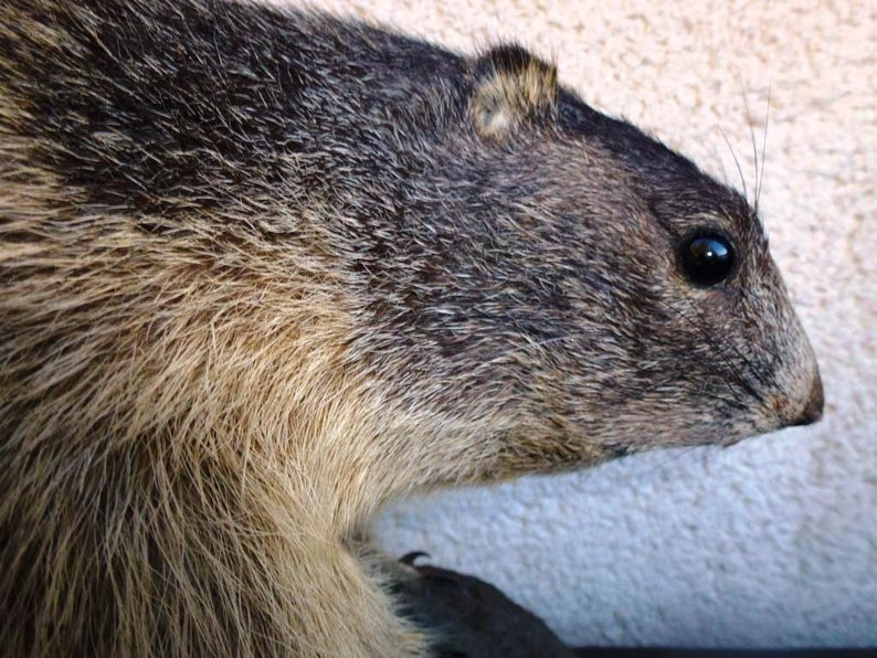 Vintage Taxidermy Marmot Murmeltier Groundhog Full-Body Mount Tierpr\u00e4parat