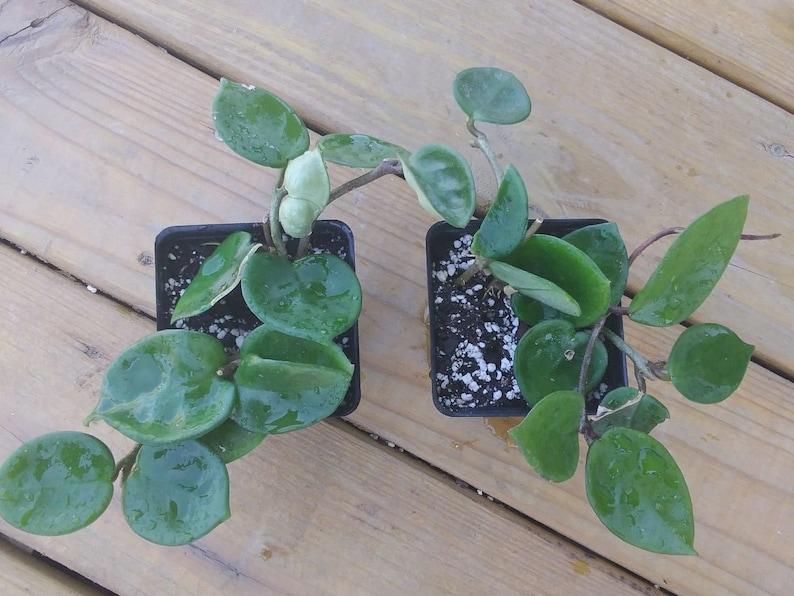 Hoya Carnosa Chelsea In 4 Pot Wax Plant Etsy