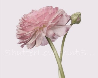 Pink Ranunculus Print Ranunculus Photography Ranunculus Download Single Ranunculus Printable Ranunculus Art Shabby Chic Ranunculus Flower