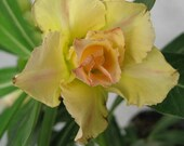 Desert rose plant, fat caudex, 3 double yellow Adeniums, live succulent seedlings, great gift idea